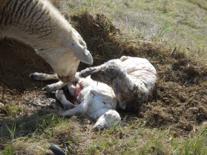3 lambs were born in the week we stayed in Sonoma County, these one's are minutes old.